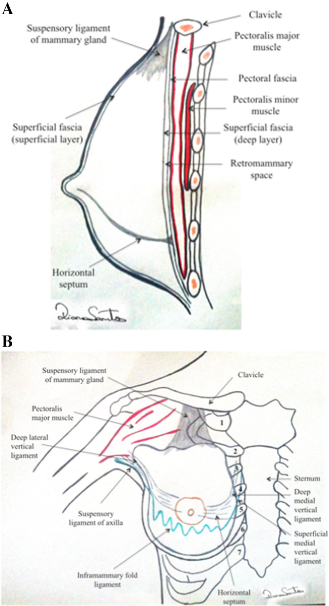 Suspensory Ligament Of The Mammary Gland A Case Report Semantic