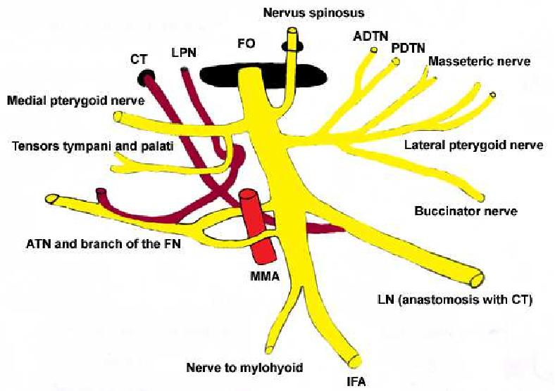 5 The Mandibular Nerve The Anatomy Of Nerve Injury And Entrapment