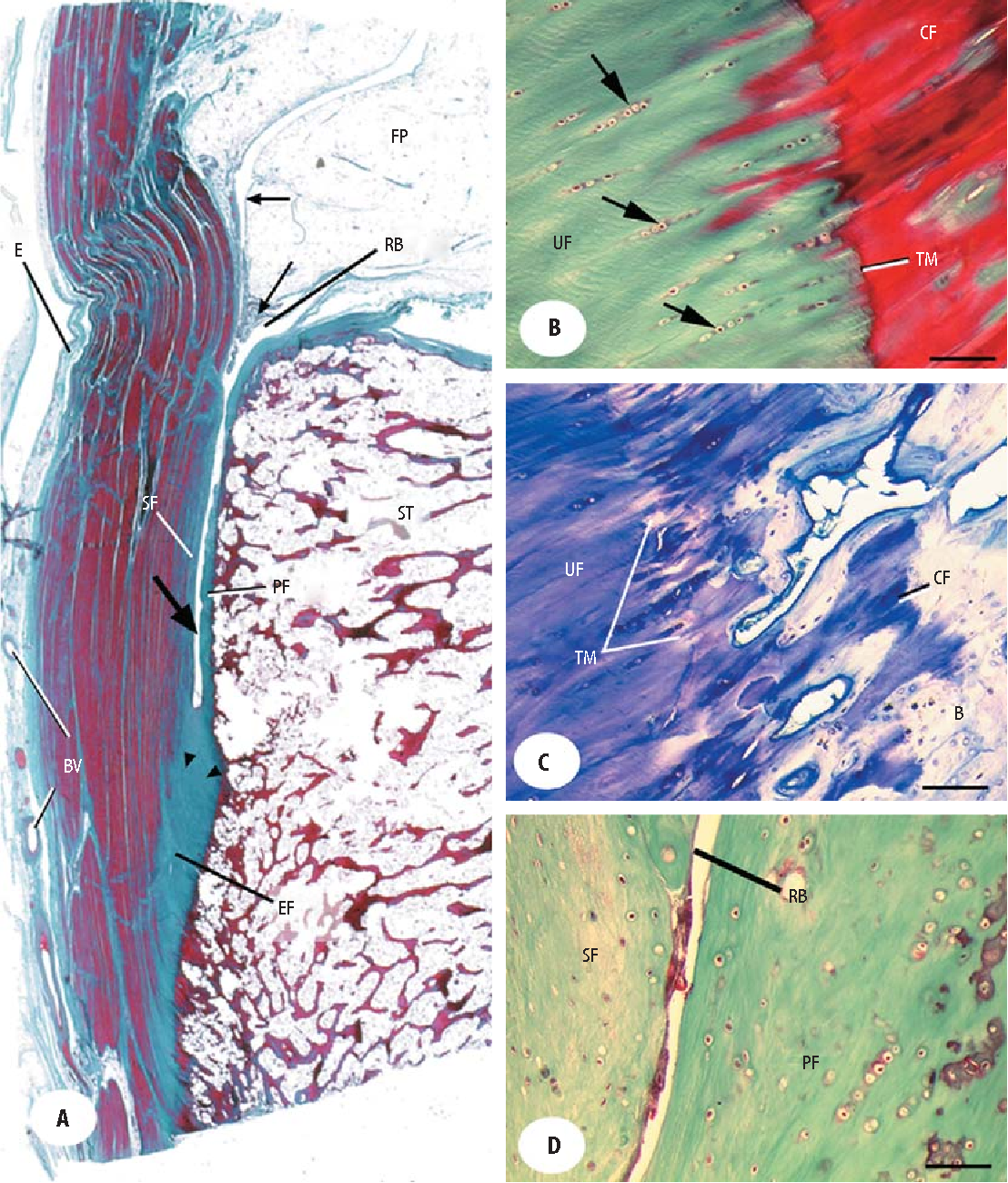 Figure 2.2 from The anatomy of the Achilles tendon. - Semantic Scholar