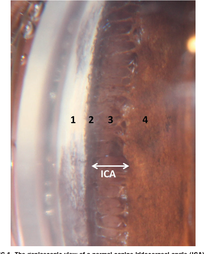 FIG 1 . The gonioscopic view of a normal canine iridocorneal angle (ICA). 1=corneoscleral limbus, 2=site of insertion of pectinate ligament fibres, 3=pectinate ligament fibres and 4=iris. The double-headed white arrow delineates the opening of the ICA