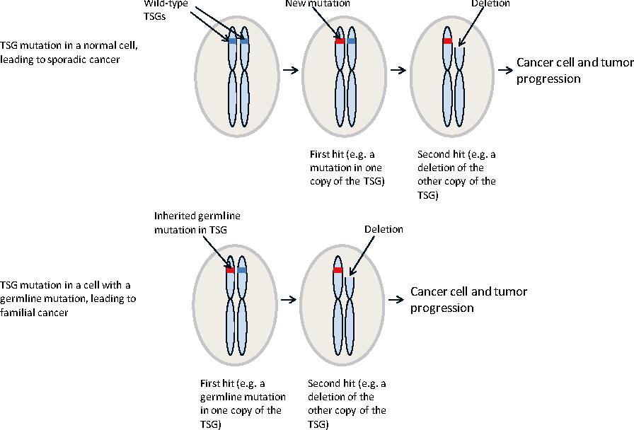 Figure 2 Knudsons Two Hit Hypothesis For Tumorigenesis Involving A Tumor Suppressor Gene