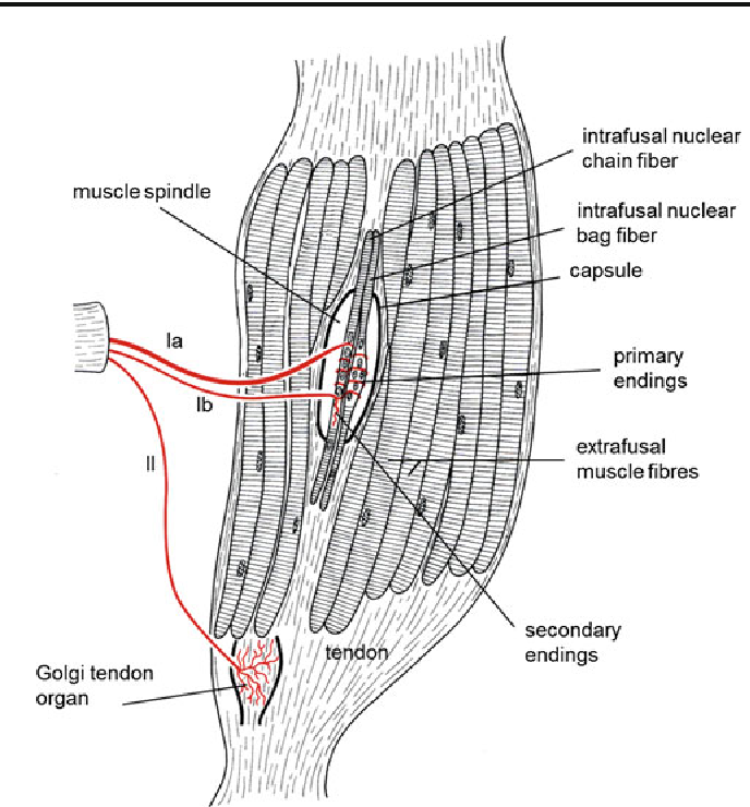 Palisade Endings And Proprioception In Extraocular Muscles A