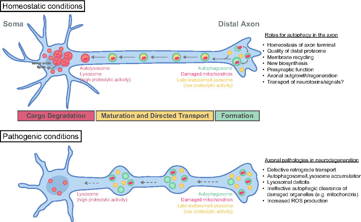 Mechanisms of neuronal homeostasis: Autophagy in the axon ...