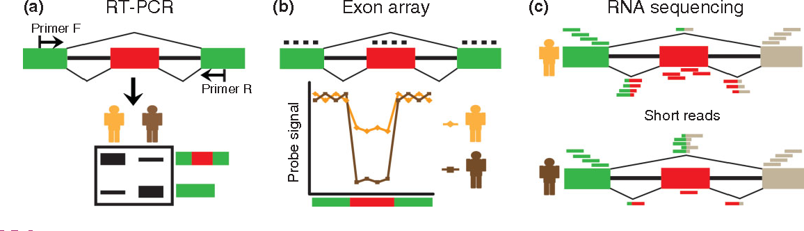 FIGURE 3 | Molecular and genomic tools for analysis of alternative splicing. (a) Reverse transcription polymerase chain reaction (RT-PCR): For any alternatively spliced exon of interest, a pair of forward and reverse PCR primers can be designed to target the flanking exons (top panel). After the RT-PCR reaction, PCR products of varying sizes corresponding to distinct mRNA isoforms can be separated and visualized by electrophoresis (bottom panel). The intensities of RT-PCR bands can be quantified to estimate the relative proportions of distinct mRNA isoforms. (b) Exon array: Splicing-sensitive exon arrays use oligonucleotide probes that target specific exons or exon–exon junctions to analyze alternative splicing (top panel). Some platforms only contain probes targeting exon sequences, while others include probes for both exons and exon–exon junctions. The fluorescent intensities of individual probes can be used to infer the splicing activities of alternatively spliced exons (bottom panel). (c) RNA sequencing ('RNA-Seq'). By mapping RNA-Seq reads to exons and exon–exon junctions, one can annotate exon–intron structures and estimate the splicing levels of individual exons. In this figure, the RNA-Seq data of the individual depicted in the top panel indicates that the alternatively spliced exon is predominantly included. By contrast, the RNA-Seq data of the individual depicted in the bottom panel indicates that the alternatively spliced exon is predominantly skipped.