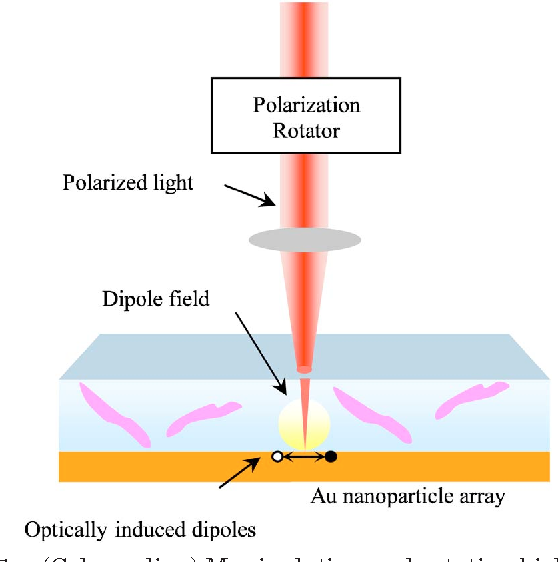 Fig. 1. (Color online) Manipulating and rotating biological cells with polarized light.