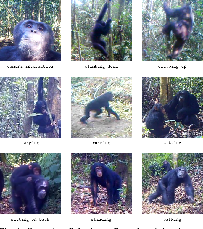 Figure 1 for Visual Recognition of Great Ape Behaviours in the Wild