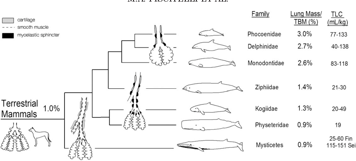 Figure 4 From A Review Of Cetacean Lung Morphology And Mechanics