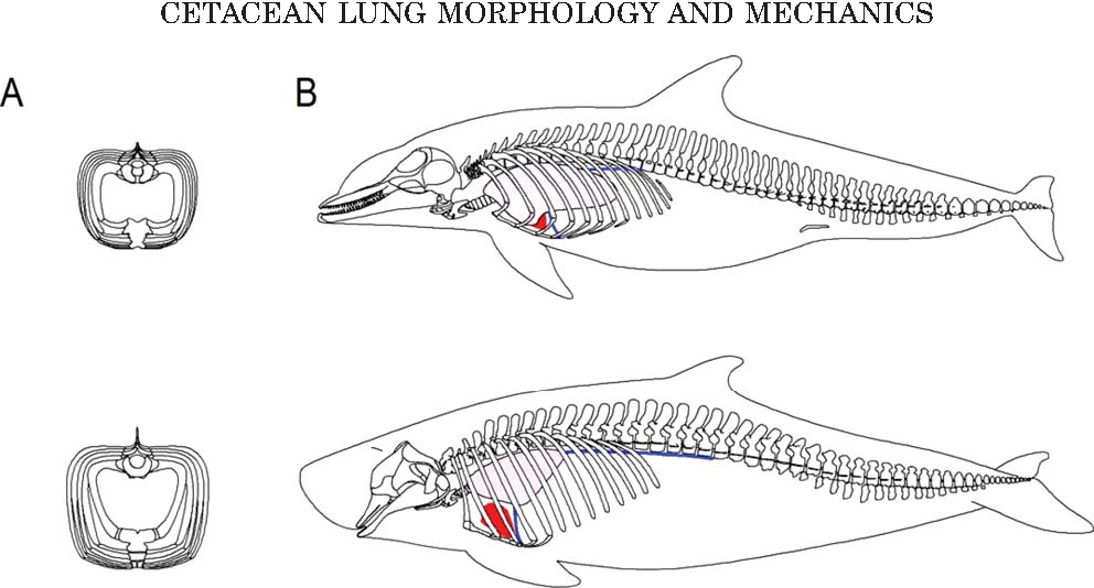 Figure 1 from a review of cetacean lung morphology and mechanics figure 1 ccuart Gallery