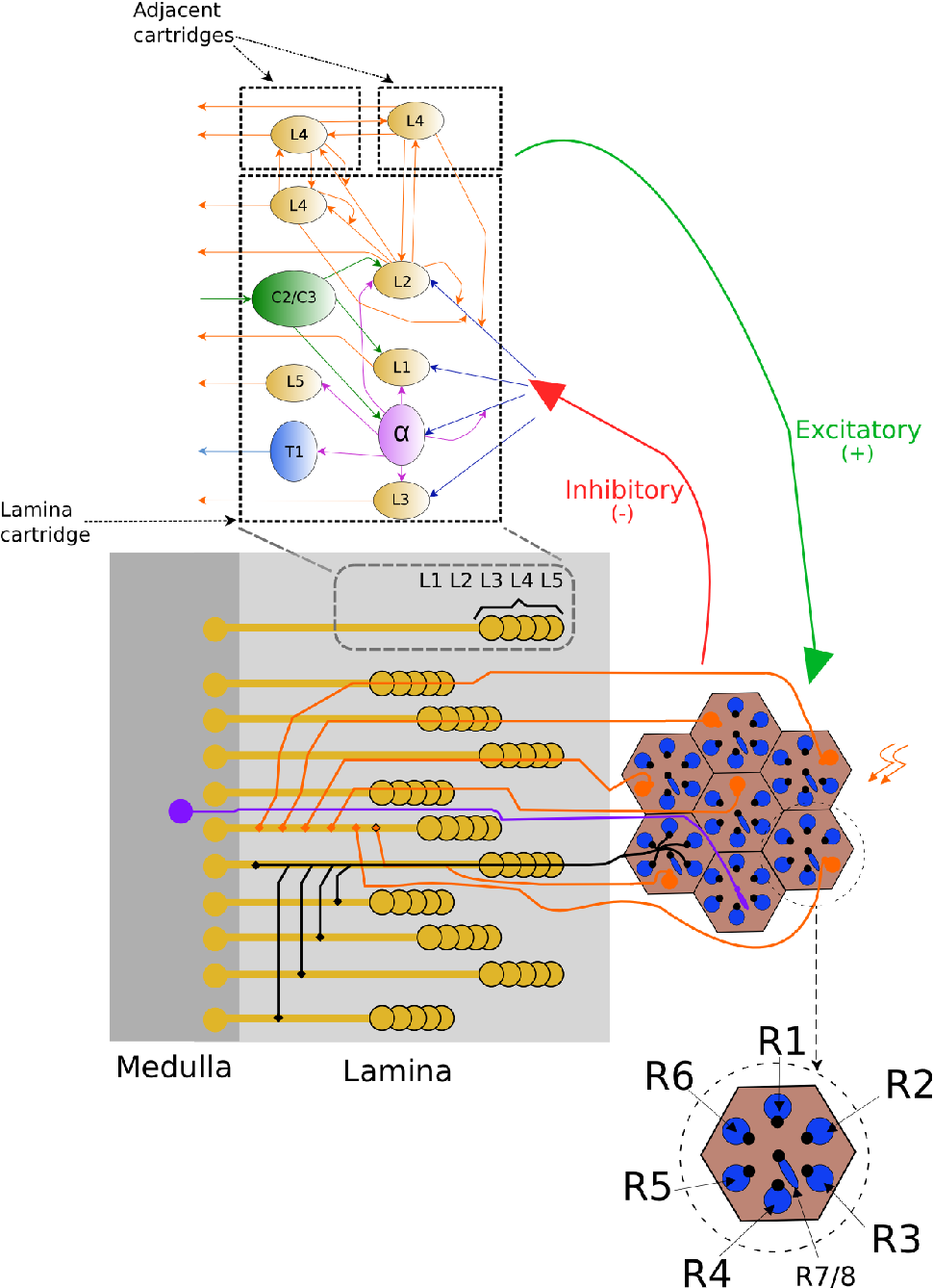 Fig. 2.3 Drosophila's Retina/Lamina connectome. This figure shows the Retina/Lamina interconnection and the Lamina network. The top part of the figure displays a synaptic signalling diagram that presents the information flow in the Lamina.Each Lamina cartridge is composed of Large monopolar (L), Centrifugal (C), Tangential (T) and Amacrine (α) cells. In the middle part of the figure, the neural superposition of the photoreceptors is shown. This part shows that photoreceptors with the same target in the lamina are located in neighboring ommatidia. The red and green arrows that connect the top with the middle part of the figure indicate that there is a bidirectional communication between Retina and Lamina. Finally, the bottom part of the figure shows in more detail the components of each ommatidium.
