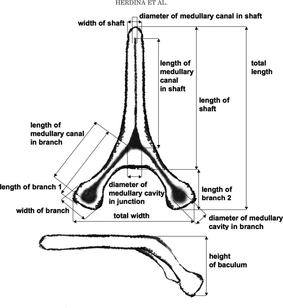 figure 1 from histomorphology of the penis bone  baculum  in the gray long