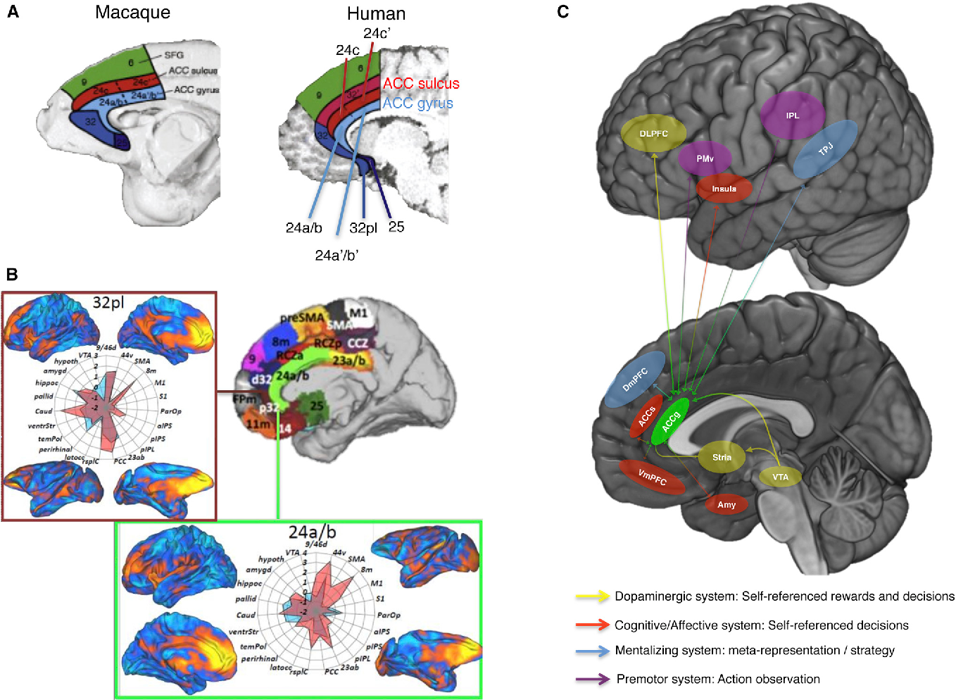 The Anterior Cingulate Gyrus and Social Cognition: Tracking the ...