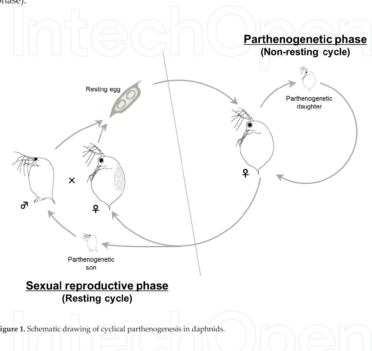 schematic drawing of cyclical parthenogenesis in daphnids