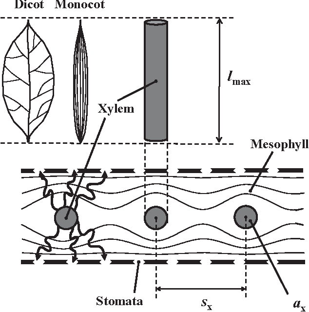 Non Steady State Non Uniform Transpiration Rate And Leaf Anatomy
