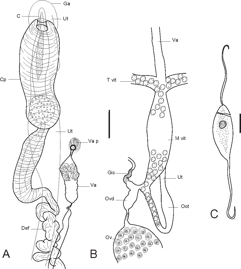 Figure 3 From Nudaciraxine Imperium Sp N Monogenea Axinidae