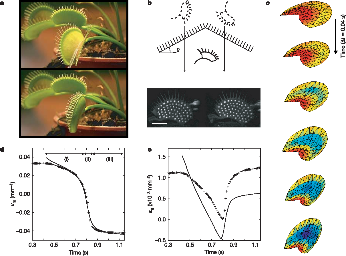 figure 1 from how the venus flytrap snaps semantic scholar rh semanticscholar org venus fly trap cell diagram venus fly trap life cycle diagram