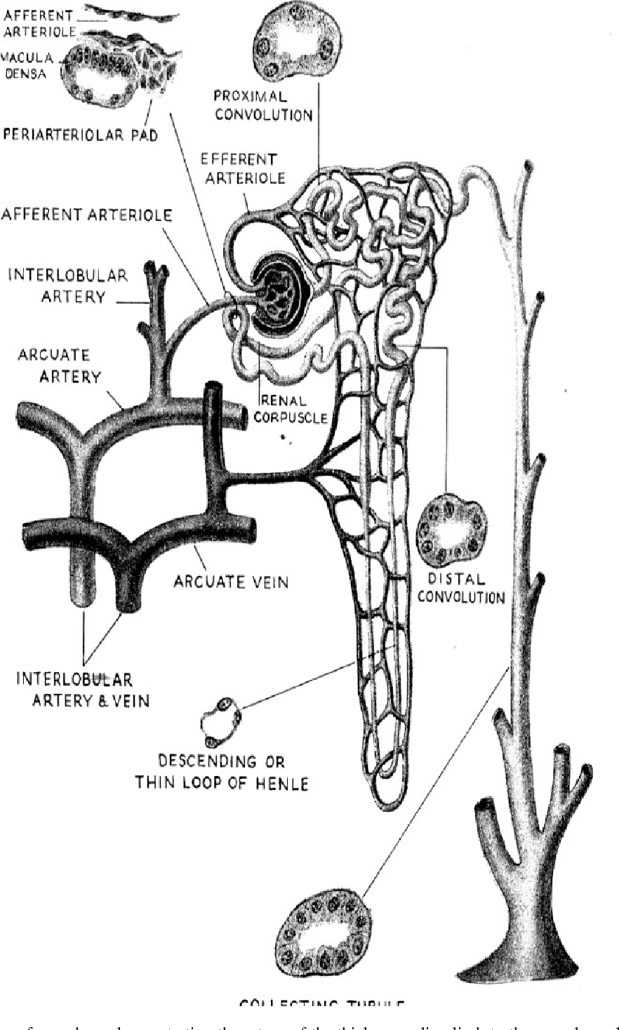 Figure 1 from homer w smith award lecture the juxtaglomerular schematic diagram of a nephron demonstrating the return of the thick ascending limb ccuart Images