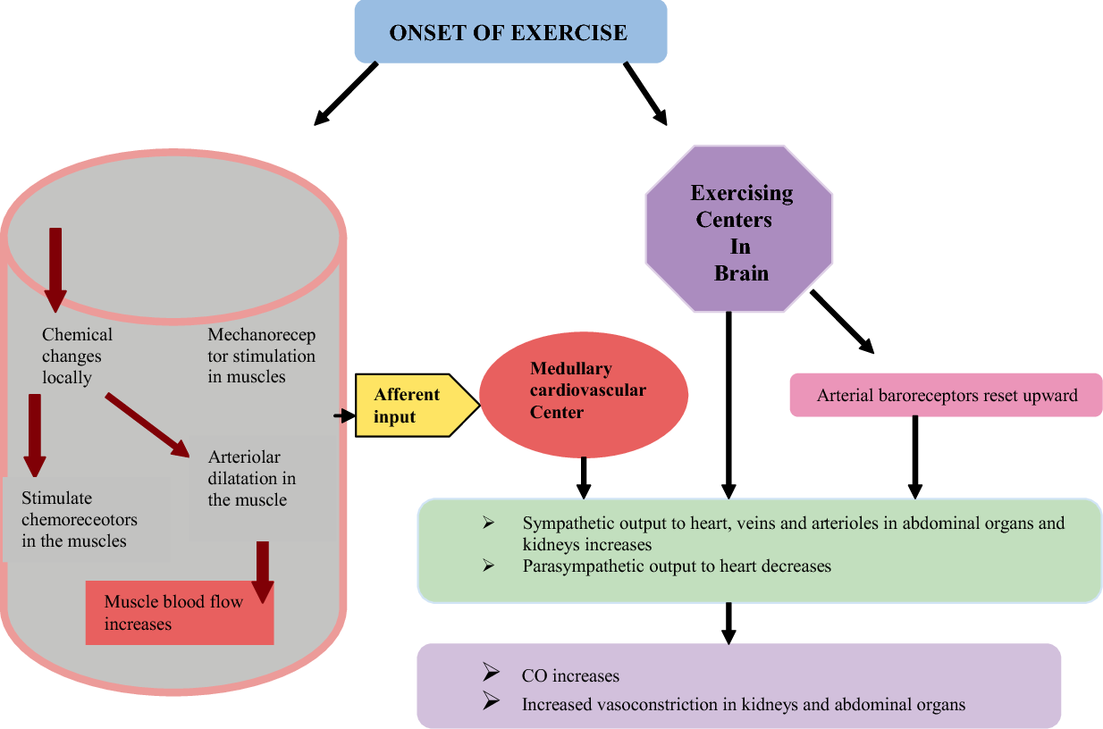 Chapter The Heart : Anatomy , Physiology and Exercise Physiology ...