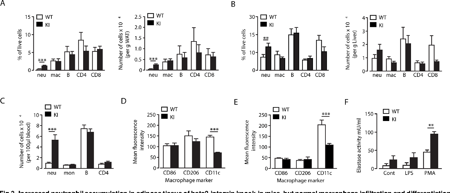 Fig 3. Increased neutrophil accumulation in adipose tissue of beta2-integrin knock-in mice, but normal macrophage infiltration and differentiation.