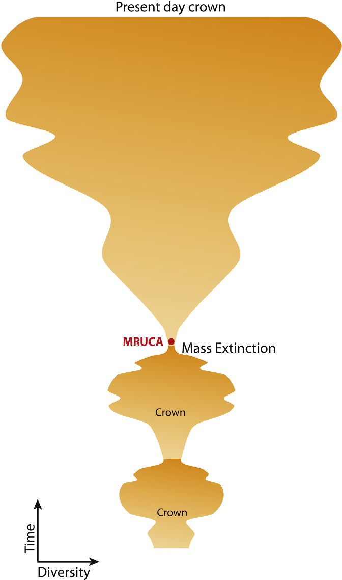 Fig. 7. A view from the crown. MRUCA's proteome complexity indicates that the crown of current phylogeny is the result of re-diversification of survivors of mass extinctions.