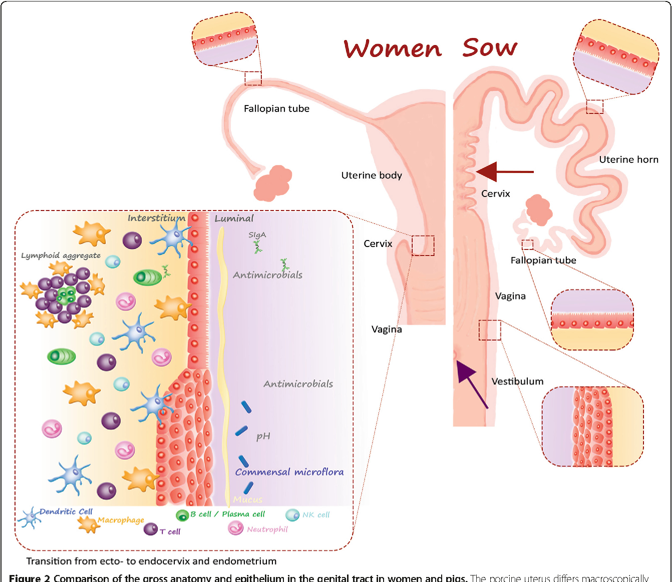 Figure 2 from a review of the human vs porcine female genital tract figure 2 comparison of the gross anatomy and epithelium in the genital tract in women and ccuart Gallery