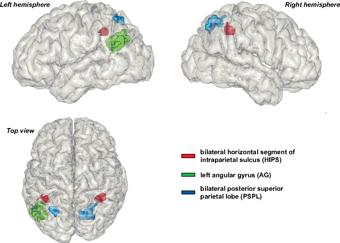 Figure 2 From Three Parietal Circuits For Number Processing