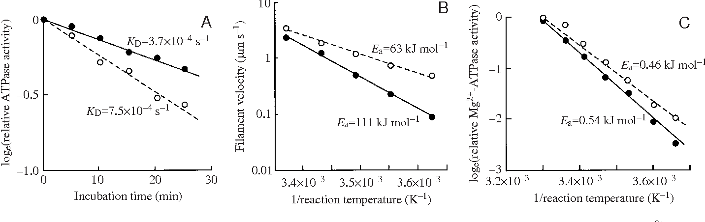 Fig. 1. Structural flexibility and functional differences of myosin isoforms from thermally acclimated carp. (A) A plot of relative Ca2+-ATPase activity versus incubation time (modified from Watabe et al., 1992) from which the inactivation rate constant (KD) can be derived. (B) Arrhenius plot of the sliding velocity of F-actin on myosin (modified from Chaen et al., 1996) from which the activation energy (Ea) for sliding velocity can be derived. (C) Arrhenius plot of actin-activated Mg2+-ATPase activity (modified from Watabe et al., 1992) from which the Ea for actin-activated Mg2+-ATPase can be derived. Myosin isoforms were prepared from carp acclimated to 10 °C (open circles) and 30 °C (filled circles).
