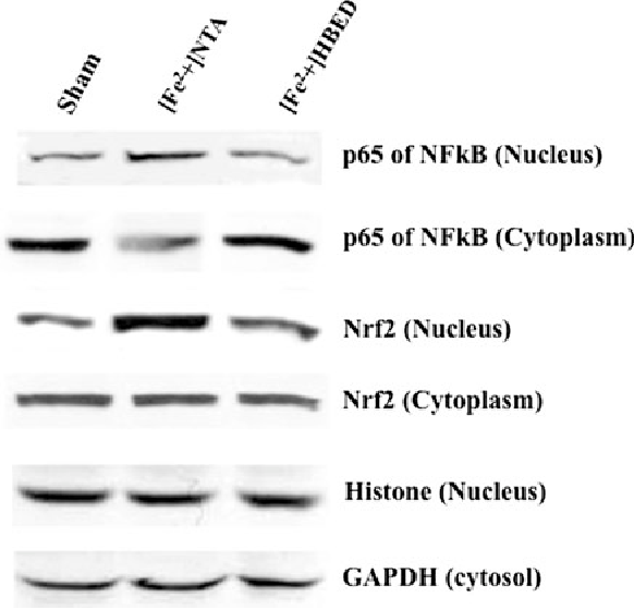 Fig. 3 Stress-response to challenge of RPAEC with [Fe2?]. Immunoblot assessment of nuclear translocation of transcriptional factors Nrf2 and NFjB