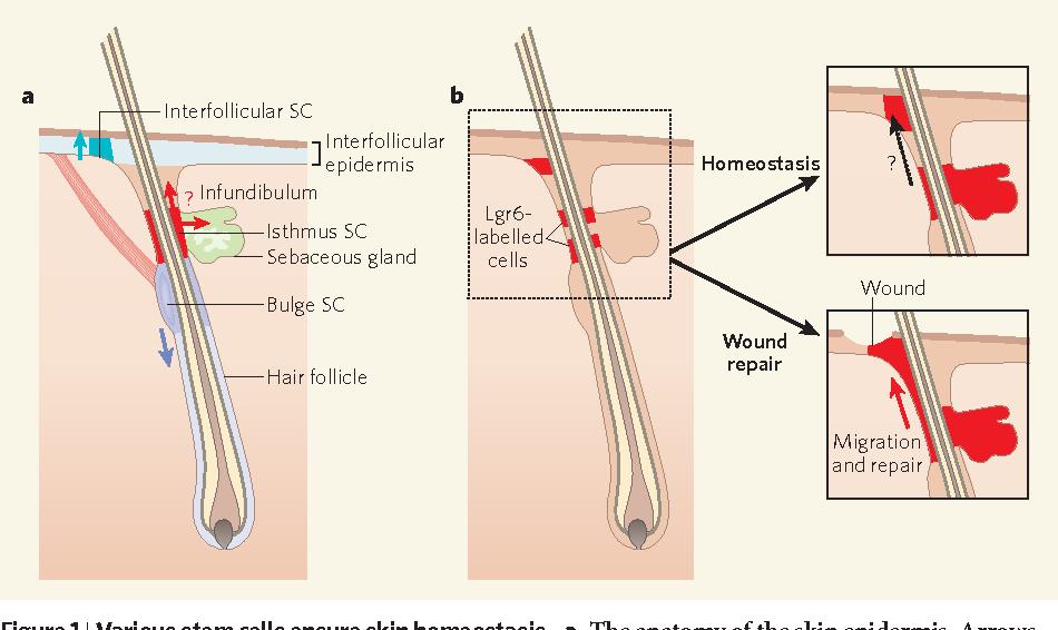 Figure 1 From Stem Cells Skin Regeneration And Repair Semantic