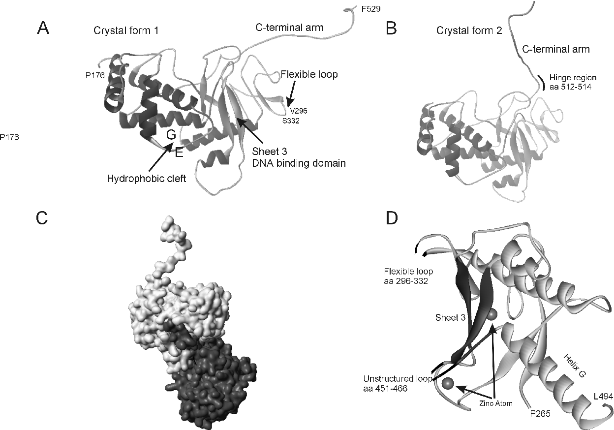 Figure 7: Crystal structures of DBP. A: Crystal form 1 (178). Indicated are the hydrophobic cleft and c-terminal arm required for multimerization and sheet 3 and the flexible loop required for efficient DNA binding. B: Crystal form 2 (84). The position of the C-terminal arm has been rotated around aa 512-514. C: Crystal structure of a DBP dimer. D: Magnification of DNA binding domain, composed of Sheet 3, Flexible loop and unstructured loop (black), see text for details.