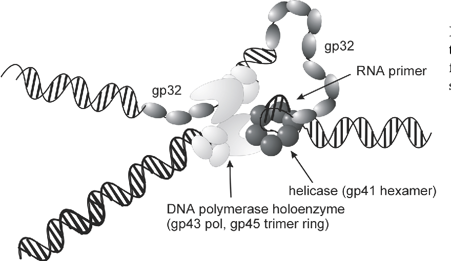 Figure 11: A functional model of the phage T4 DNA replication fork with gp32 positioned on the ssDNA regions