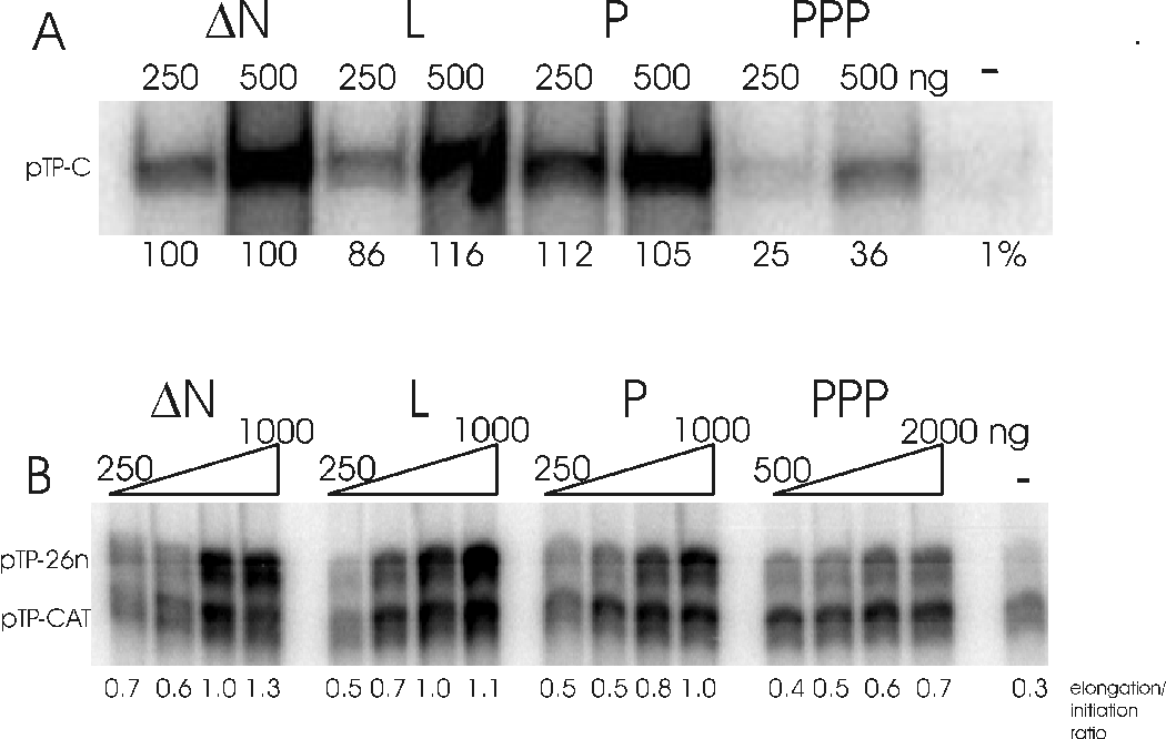 Figure 4: PPP-DBP still stimulates initiation but cannot support elongation. A: pTP-C formation as a measure of initiation was tested with two amounts of DBP, 250ng and 500ng. The assay was performed at a low pTP-pol concentration (50ng) at which stimulation is most pronounced. The activities at 250 and 500ng of ∆N-DBP were set as 100% and compared to the activities determined for the other mutants. B: Partial elongation (pTP-26n formation) was tested as a function of DBP. The assay was performed at high pTP-pol concentration (100ng) at wich stimulation of the initiation (pTP-CAT) is independent of the DBP concentration. Under the condition chosen also the pTP-CAT initiation intermediate is observed. The elongation/initiation ratio was quantified. The protein concentration ranges are 250, 500, 750 and 1000 ng for ∆N-, L- and P-DBP and 500, 1000, 1500 and 2000 ng for PPP-DBP