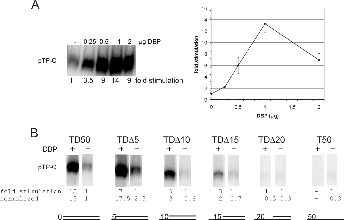 Figure 1: A: Initiation assay on 0.3 pmol of the TD50 template with various concentrations of DBP. A representative initiation assay is shown. The average level of initiation based on three independent experiments is graphically represented. B: Initiation assay on origin containing templates with increasing 5 -gaps. Equimolar amounts of DNA templates, 0.3 pmol, were used. The fold stimulation of initiation by DBP of a representative experiment is shown. The pTP-C signal without the addition of DBP was set to 1 for each template. The basal level of initiation (no DBP) on TD50 was set to 1 and the basal level of initiation of the other templates was determined: TD∆5, 2.5; TD∆10, 0.6; TD∆15, 0.7; TD∆20, 0.3 and T50, 0.3.