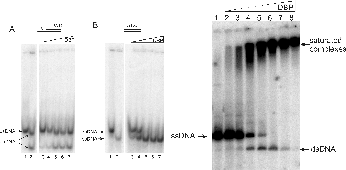 Figure 1: Unwinding assay at 30°C of dsDNA templates with DBP on TD∆15 (panel A) and AT30 (panel B). The positions of (partially) ds- and unwound- DNAs are shown in lane 1 (dsDNA template) and lane 2, (template boiled at 100°C), respectively. Lanes 3 to 7; 6.25, 12.5, 25, 50 and 100 ng of DBP were added to the reaction mixture.