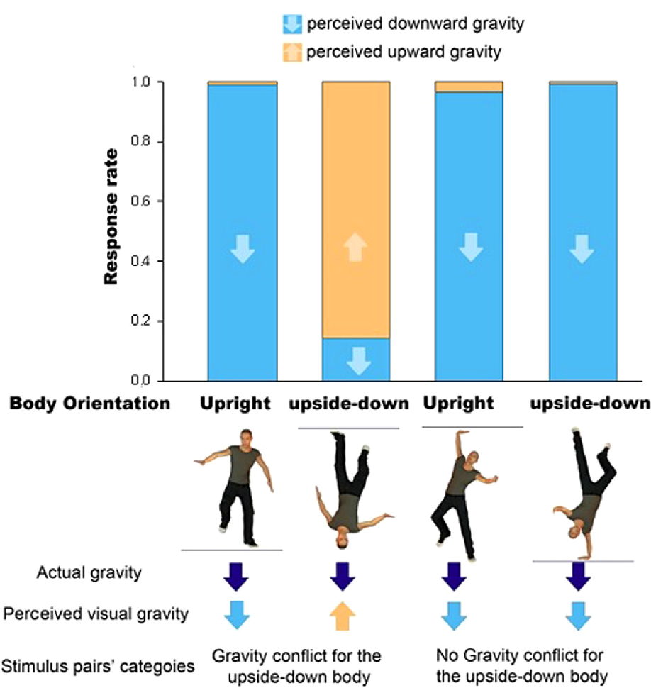 internal model of gravity influences configural body processing