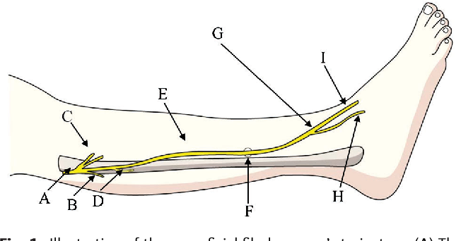 The Anatomy And Morphology Of The Superficial Peroneal Nerve
