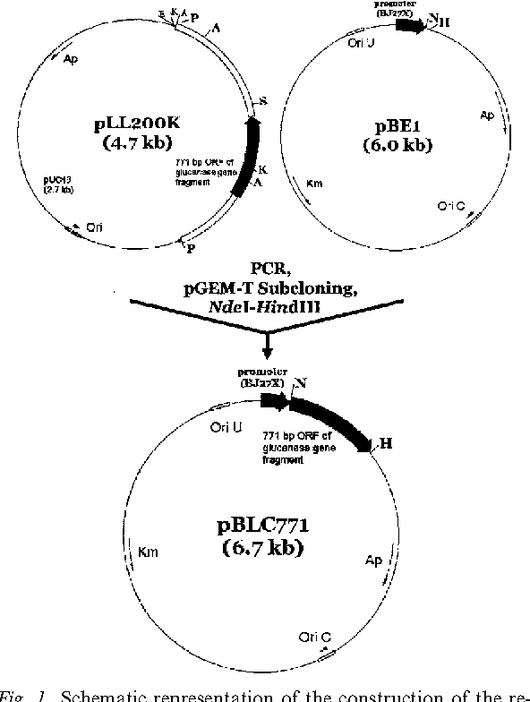 Figure 1 From Over Expression Of The Gene Bglbc1 From Bacillus
