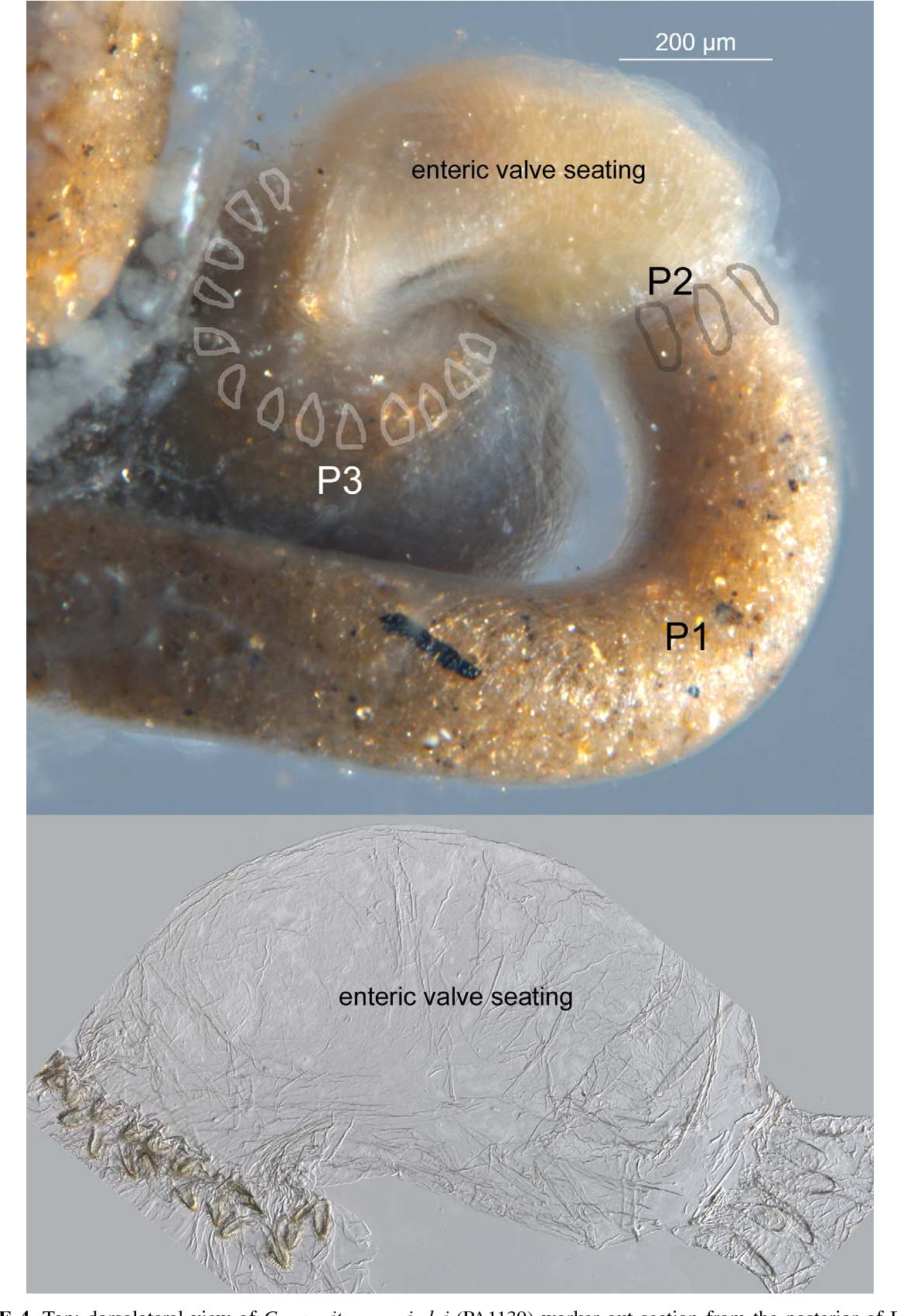 Figure 4 from Isoptera : Termitidae : Apicotermitinae ) , a new ...