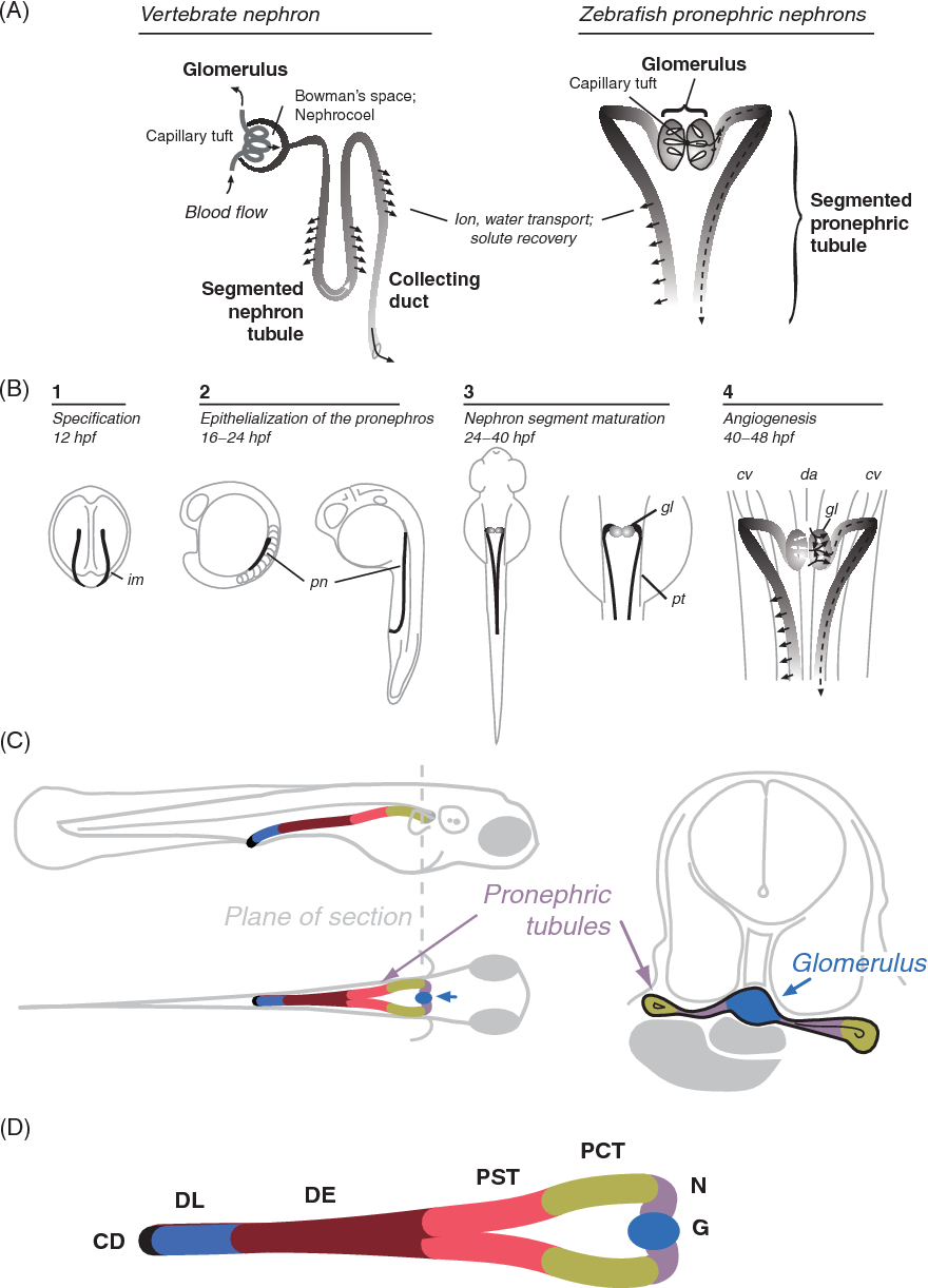 (a) functional features of the vertebrate nephron