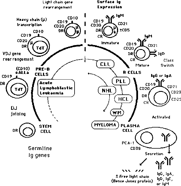 Figure 5 From Human B Cells Differentiation And Neoplasia