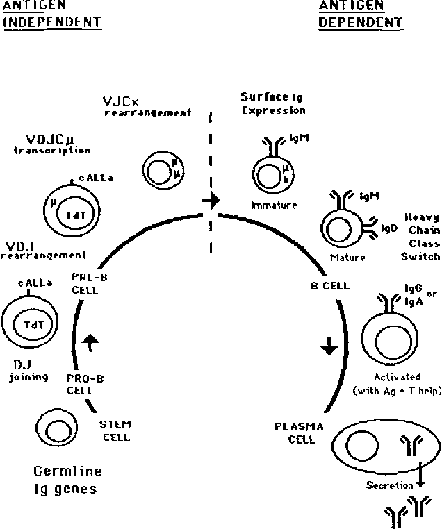 Figure 1 From Human B Cells Differentiation And Neoplasia
