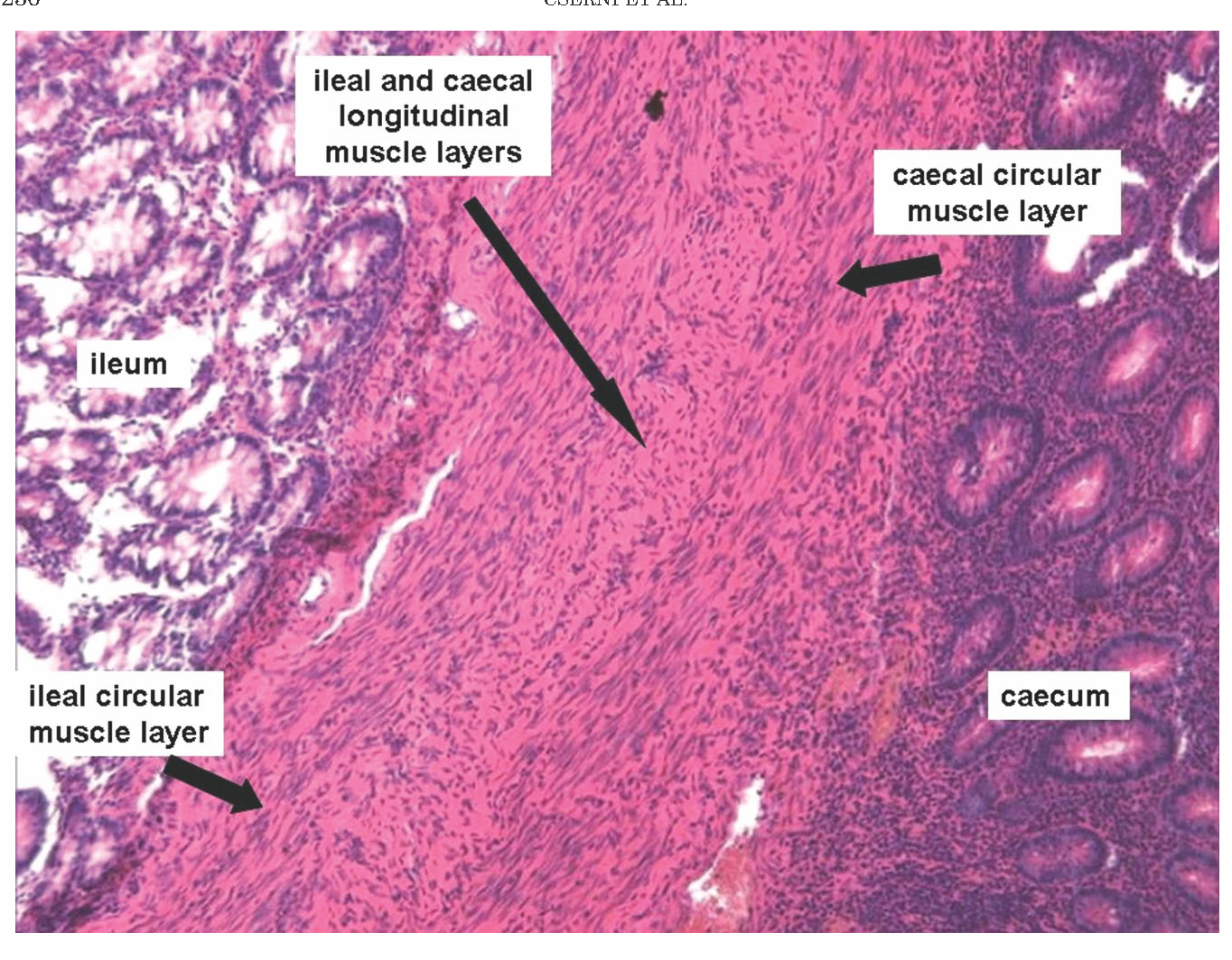 Figure 1 From New Insights Into The Neuromuscular Anatomy Of The