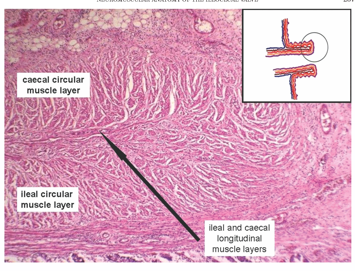 Figure 2 From New Insights Into The Neuromuscular Anatomy Of The