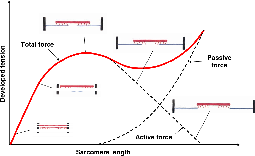Constitutive Modeling Of Skeletal Muscle Tissue With An Explicit