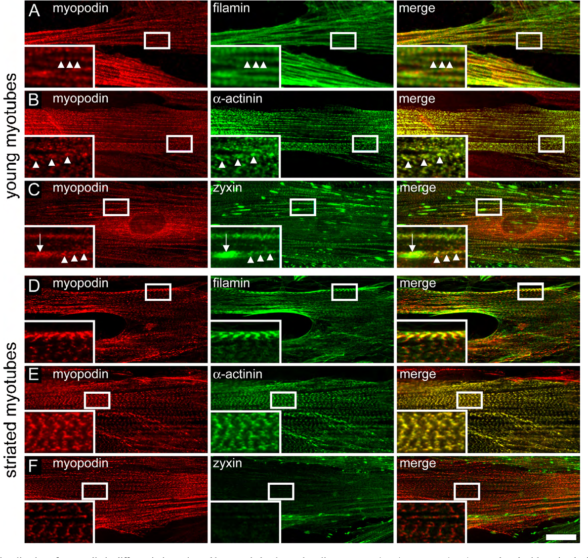 Fig. 5. Immunolocalization of myopodin in differentiating cultured human skeletal muscle cells. Immature (A–C) ormature (D–F)myotubes double stainedwithmonoclonal o n, fila w brils. F m here
