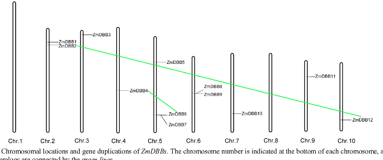 Fig. 3 Chromosomal locations and gene duplications of ZmDBBs. The chromosome number is indicated at the bottom of each chromosome, and the sister paralogs are connected by the green lines
