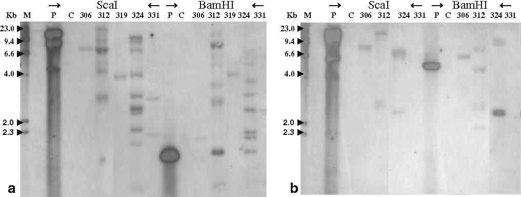 Fig. 5 Southern hybridisation of Ri-lines of K. blossfeldiana 'Molly' transformed with A. rhizogenes strain ATCC15834. a Probe for TL-DNA. b Probe for TR-DNA. M Dig-marker, P pRi15834, C Control plants; 306–331 individual Ri-lines