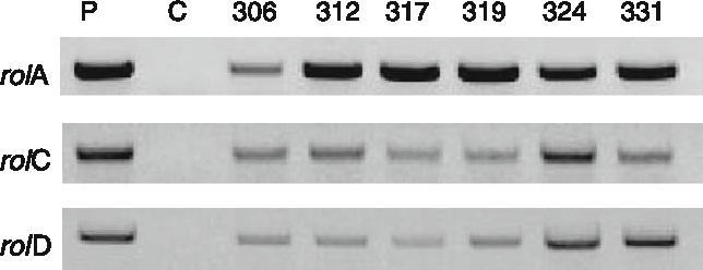 Fig. 6 Expression analysis of rolA (primer set 1), rolC (primer set 3) and rolD (primer set 4) genes by RT-PCR of Ri-lines of K. blossfeldiana transformed with A. rhizogenes strain ATCC15834. P: pRi15834; C: Control plants; 306–331 individual Ri-lines