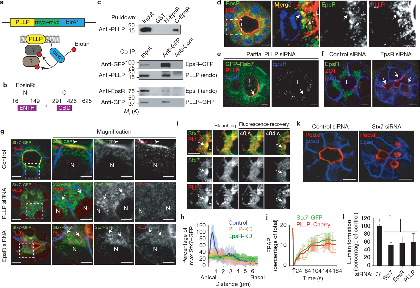 Developmental regulation of apical endocytosis controls epithelial