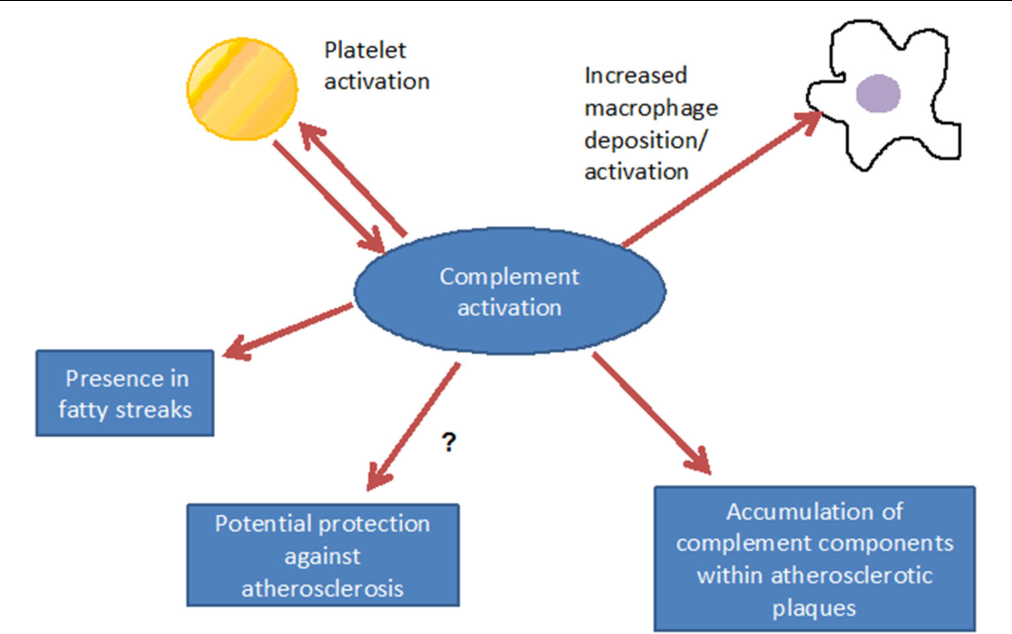FIGURE 3 | Consequences of complement activation: complement interacts with inflammatory cells, may, however, also have a functional relationship with platelet activation. Via promotion of inflammation, complement contributes to the formation of the fatty streak, under distinct conditions, however, atheroprotective effects can not be excluded.