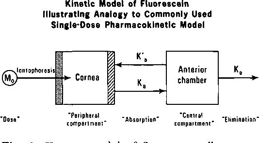 Fig. 1. Kinetic model of fluorescein illustrating analogy to commonly used single-dose pharmacokinetic model.
